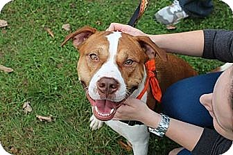 American Pit Bull Terrier/American Bulldog Mix Dog for adoption in Brooklyn, New York - Bernie