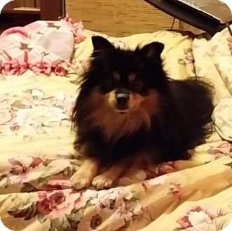 Pomeranian Dog for adoption in Hagerstown, Maryland - Winston (DC)