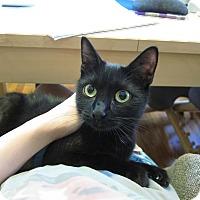 Adopt A Pet :: Pumpkin Pie - Chicago, IL