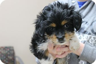 Maltese Mix Puppy for adoption in Mt Sterling, Kentucky - Fonz