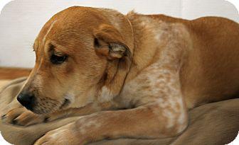 Australian Cattle Dog/Labrador Retriever Mix Puppy for adoption in Brattleboro, Vermont - Tanya