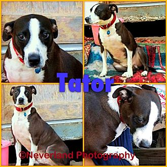 American Pit Bull Terrier Mix Dog for adoption in Okmulgee, Oklahoma - Tator