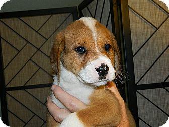 Labrador Retriever Mix Puppy for adoption in Conesus, New York - Albert