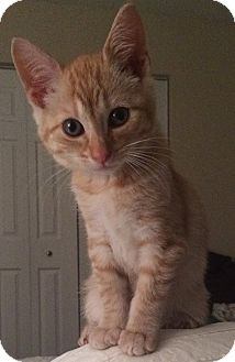 Domestic Shorthair Kitten for adoption in Anoka, Minnesota - Pumpkin