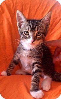 Domestic Shorthair Kitten for adoption in San Diego, California - GIZMO