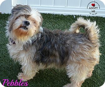 Lhasa Apso Mix Dog for adoption in Youngwood, Pennsylvania - Pebbles