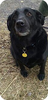 German Shepherd Dog Dog for adoption in Cherry Valley, New York - Ebony