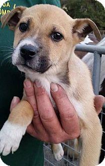 Retriever (Unknown Type) Mix Puppy for adoption in Gainesville, Florida - Forest