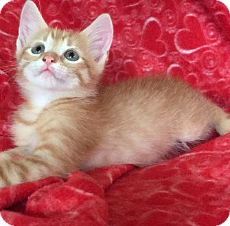 Manx Kitten for adoption in Bloomsburg, Pennsylvania - Lennie