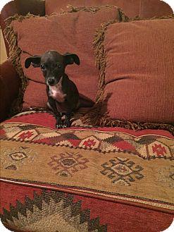 Italian Greyhound/Chihuahua Mix Puppy for adoption in Glastonbury, Connecticut - Chloe