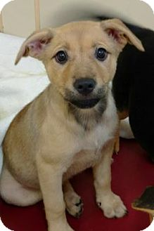 Labrador Retriever Mix Puppy for adoption in Aiken, South Carolina - Marion