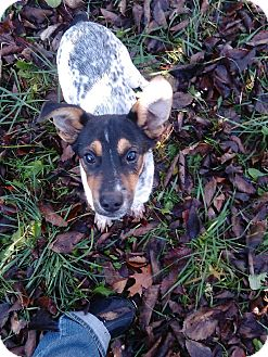 Cattle Dog/German Shepherd Dog Mix Puppy for adoption in Kendall, New York - lucus