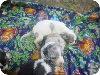 Australian Shepherd/Basset Hound Mix Puppy for adoption in Eaton, Indiana - puppies