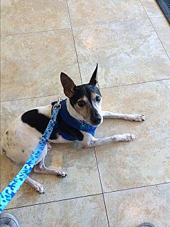 Rat Terrier Mix Dog for adoption in Miami, Florida - Neo