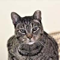 Domestic Shorthair/Domestic Shorthair Mix Cat for adoption in Morgan Hill, California - Carlos