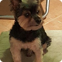 Adopt A Pet :: Snickers - Rigaud, QC