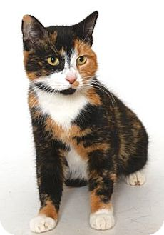 Calico Cat for adoption in Gloucester, Virginia - SNICKERS
