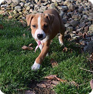 Boxer Mix Puppy for adoption in Washington, Pennsylvania - Orphan Annie