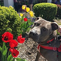 Pit Bull Terrier/American Staffordshire Terrier Mix Dog for adoption in Wheaton, Illinois - Luca