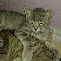 Adopt A Pet :: Mavise - Whittier, CA