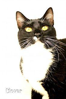 Domestic Mediumhair Cat for adoption in Benton, Louisiana - Clover