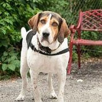 Treeing Walker Coonhound Mix Dog for adoption in Chicago, Illinois - Winston 5