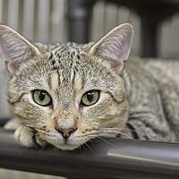 Adopt A Pet :: Tristan - Whitehall, PA