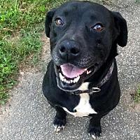 Pit Bull Terrier Mix Dog for adoption in Alpharetta, Georgia - Buddyboy