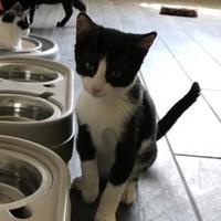 Adopt A Pet :: Percy TG - Schertz, TX