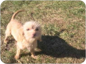 Maltese/Dachshund Mix Puppy for adoption in Wauseon, Ohio - Lucy