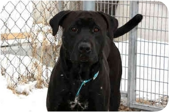 Labrador Retriever/Staffordshire Bull Terrier Mix Dog for adoption in Wamego, Kansas - Buddy