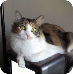 Calico Cat for adoption in Pasadena, California - Mollie