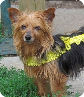 Yorkie, Yorkshire Terrier Mix Dog for adoption in Homer, New York - Isabella