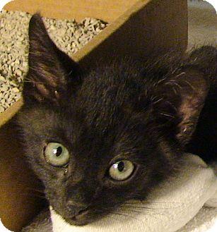 Domestic Shorthair Kitten for adoption in El Cajon, California - Al (as in Albert Einstein)