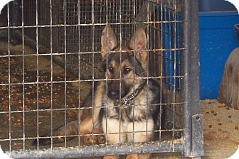 German Shepherd Dog Puppy for adoption in harrah, Oklahoma - Nitro