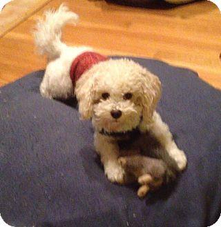 Bichon Frise/Poodle (Miniature) Mix Dog for adoption in Shelton, Connecticut - Justin Time