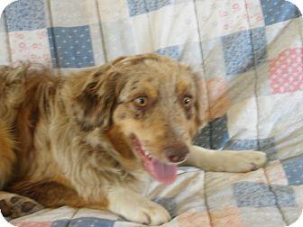 Anatolian Shepherd Dog for adoption in Roosevelt, Utah - Bridger