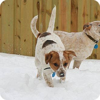 Australian Cattle Dog Mix Puppy for adoption in Delano, Minnesota - Reed