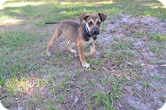Hound (Unknown Type)/German Shepherd Dog Mix Puppy for adoption in Weeki Wachee, Florida - Hazel