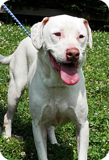Labrador Retriever/American Staffordshire Terrier Mix Dog for adoption in Cookeville, Tennessee - Roscoe