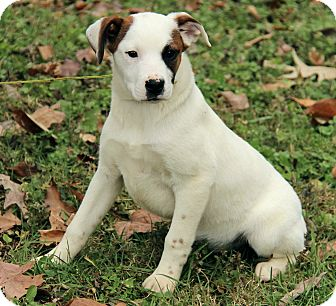Mastiff/Australian Cattle Dog Mix Puppy for adoption in Portland, Maine - Lilly