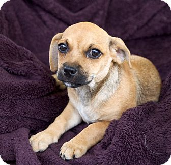 Pug/Terrier (Unknown Type, Small) Mix Puppy for adoption in Chattanooga, Tennessee - Beau