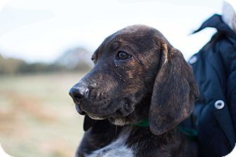 Hound (Unknown Type)/Labrador Retriever Mix Puppy for adoption in Seneca, South Carolina - Carter $250