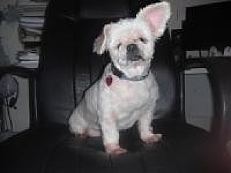 Maltese/Pekingese Mix Dog for adoption in Chattanooga, Tennessee - Blanche (FL)