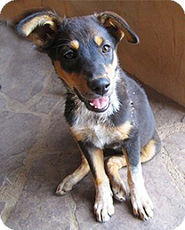 Shepherd (Unknown Type)/Cattle Dog Mix Puppy for adoption in Santa Fe, New Mexico - Lia