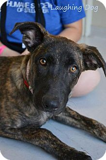Shepherd (Unknown Type)/Black Mouth Cur Mix Dog for adoption in Stillwater, Oklahoma - Aphrodite