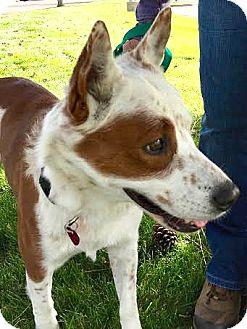 Australian Cattle Dog Dog for adoption in Boulder, Colorado - Harry