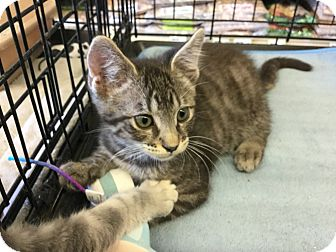 Domestic Shorthair Kitten for adoption in Gilbert, Arizona - Prescott