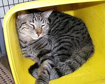 Domestic Shorthair Cat for adoption in Scottsdale, Arizona - Indiana