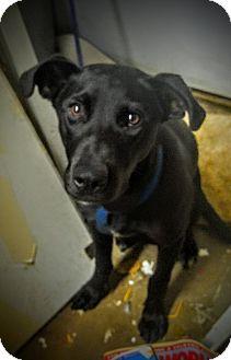 Labrador Retriever Mix Dog for adoption in Phoenix, Arizona - Jade